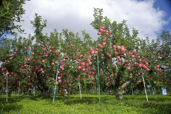 そのパワーに医者もタジタジ…日本一の青森りんごが女性に良い理由