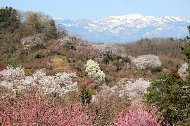 福島に桃源郷あり……ある家族が無償で開放している桜の名所の裏話