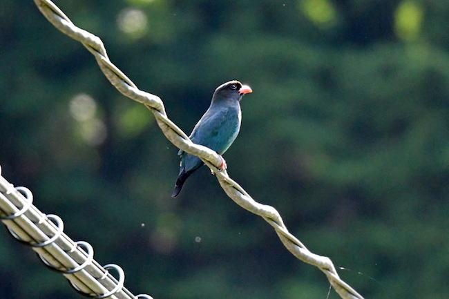 【里山レポ】広島県・芸北高原で見つけた夏の渡り鳥「ブッポウソウ」