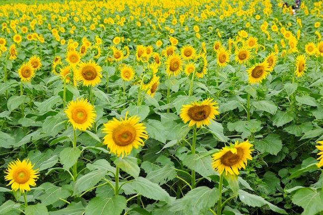 東京で10万本が咲き乱れ。まだ間に合う「清瀬ひまわりフェスティバル」