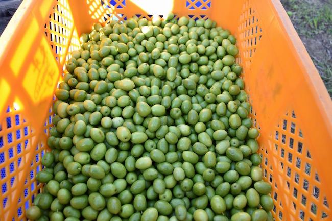 昨今の健康ブームも手伝って人気のオリーブオイル。今では毎日の食事に欠かせないという方も多いのではないでしょうか?そんなオリーブオイルの国内精算量第1位の地といえば瀬戸内海に浮かぶ香川県小豆島です。別名「オリーブの島」といわれる小豆島では、オリーブオイルの生産はもちろん、採油後のオリーブを活用した様々な事業が行われていました。