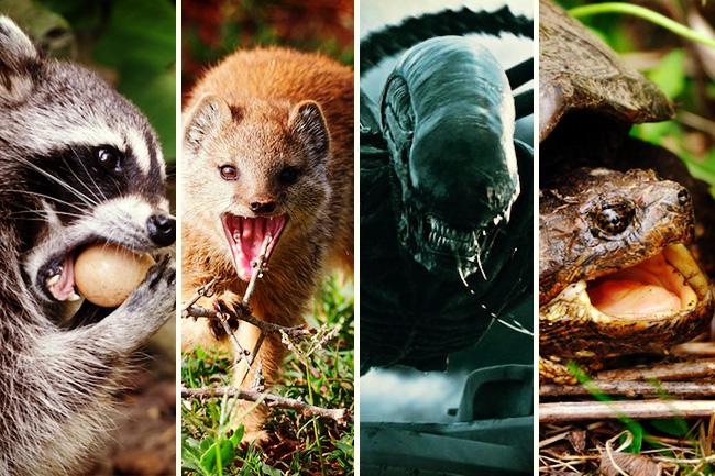 気をつけて。日本で猛威をふるう「侵略的外来種」