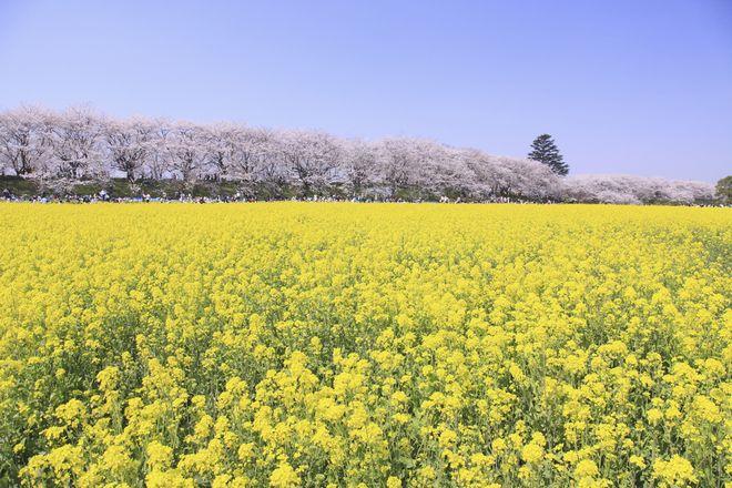 【まるで絵本の世界】桜と菜の花が一度に楽しめる、よくばり花見スポット3選