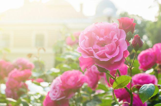 初夏、バラが咲き乱れる地へ。あなたを夢の世界にいざなう映像5選
