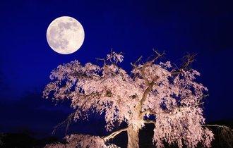 京都の桜を育てて100年、「桜守」佐野藤右衛門が勧める桜の名所