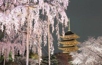 【京都案内】戦国武将や文豪が愛した「美しすぎる桜の名所」5選
