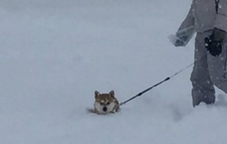 柴犬が雪に埋もれて何してる?意外な行動にみんな爆笑!